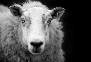 ewe sheep black and white george gastin