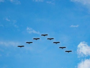birds migration flock fly migrate