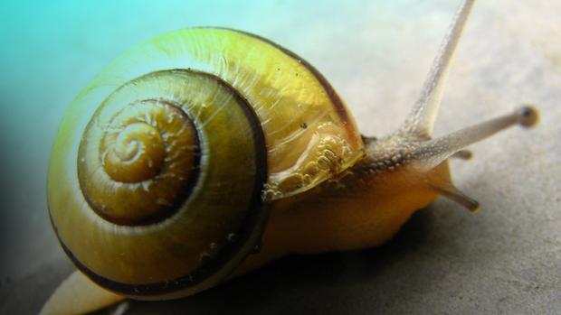 kaboom snail